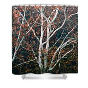 American Sycamore # 2 Shower Curtain