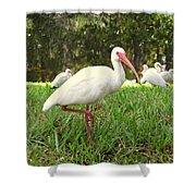 American White Ibis Birds In Orlando, Florida Shower Curtain