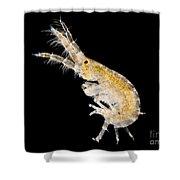 Amphipod Crustacean, Lm Shower Curtain