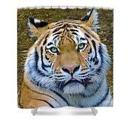 Amur Tiger 1 Shower Curtain