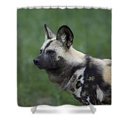 An African Hunting Dog Shower Curtain