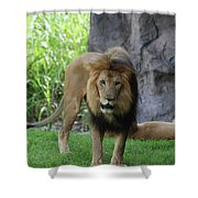 An Amazing Look At A Prowling Lion Standing In Grass Shower Curtain