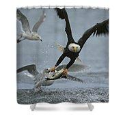 An American Bald Eagle Grabs A Fish Shower Curtain