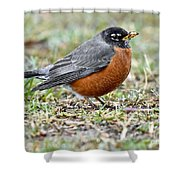 An American Robin With Muddy Beak Shower Curtain