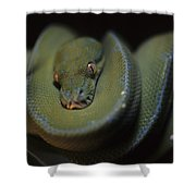 An Immature Green Tree Python Curled Shower Curtain