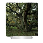 An Old Live Oak Draped With Spanish Shower Curtain