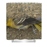 An Orchard Oriole On A Gravel Road Shower Curtain
