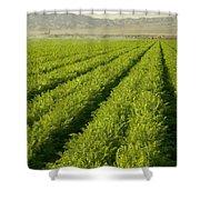 An Organic Carrot Field Shower Curtain