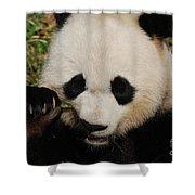 An Up Close Look At A Giant Panda Bear Shower Curtain