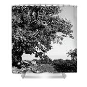 Ancient Oak, Bradgate Park Shower Curtain