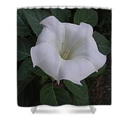 Angel Trumpet - Color Shower Curtain