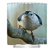 Angry White Breasted Nuthatch Shower Curtain