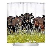 Angus Heifers Shower Curtain