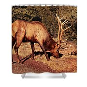 Animal - Elk -  An Elk Eating Shower Curtain