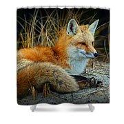 Animal - The Alert Fox  Shower Curtain