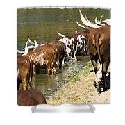 Ankole-watusi Cattle Shower Curtain