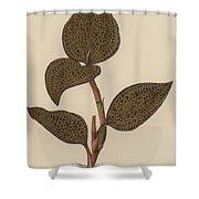 Anoectochilus Setaceus, Aurea Shower Curtain