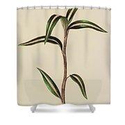 Anoectochilus Striatus Shower Curtain