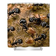 Ant Crematogaster Sp Group Shower Curtain