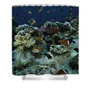 Anthias Fish, Anemonefish And Basslets Shower Curtain