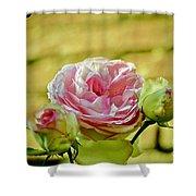 Antique Pink Rose Shower Curtain