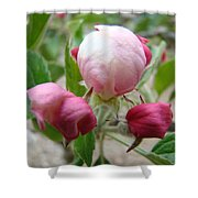 Apple Blossom Buds Art Prints Spring Baslee Troutman Shower Curtain