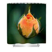 Apricot Rose Bud 1 Shower Curtain