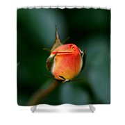 Apricot Rose Bud 2 Shower Curtain