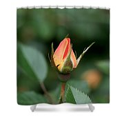 Apricot Rose Bud 3 Shower Curtain