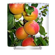 Apricots Shower Curtain by Will Borden