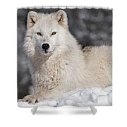 Arctic Wolf... Shower Curtain