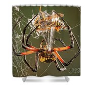 Argiope Spider Wrapping A Hornet Shower Curtain