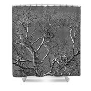 Arizona Sycamore Tree Filtered 022714 Shower Curtain