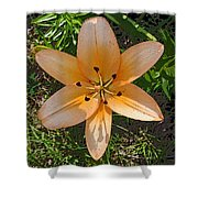 Asiatic Lily With Poster Edges Shower Curtain
