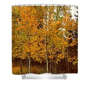 Aspen Trees With Autumn Leaves  Shower Curtain