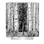 Aspens And The Pine Black And White Fine Art Print Shower Curtain