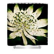 Astrantia In Bloom Shower Curtain