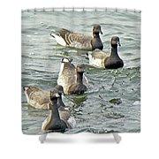 Atlantic Brant Geese - Branta Bernicla Hrota Shower Curtain