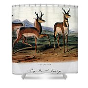 Audubon: Antelope, 1846 Shower Curtain