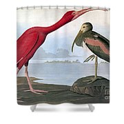 Audubon: Scarlet Ibis Shower Curtain