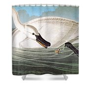 Audubon: Trumpeter Swan Shower Curtain
