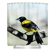 Audubon's Oriole Back Wings Shower Curtain