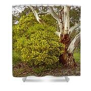 Australian Wattles Bush And Candlebark Gum Tree Shower Curtain