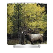 Autumn Bull Elk Bugling  Shower Curtain