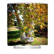 Autumn Sycamore Tree Shower Curtain