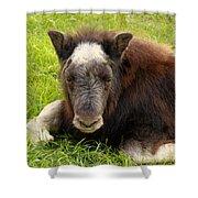 Baby Alaskan Musk Ox Shower Curtain