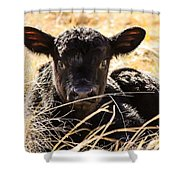 Baby Angus Calf Hideaway Shower Curtain