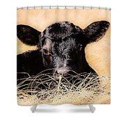 Baby Angus Calf  Shower Curtain