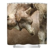 Baby Camels Shower Curtain