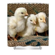 Baby Chicks Shower Curtain by Sandy Keeton